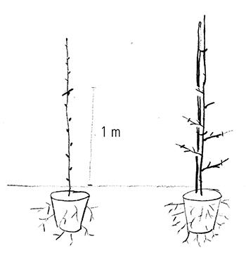 Super Säulenobst - Häberli Fruchtpflanzen AG, Neukirch-Egnach &YE_47