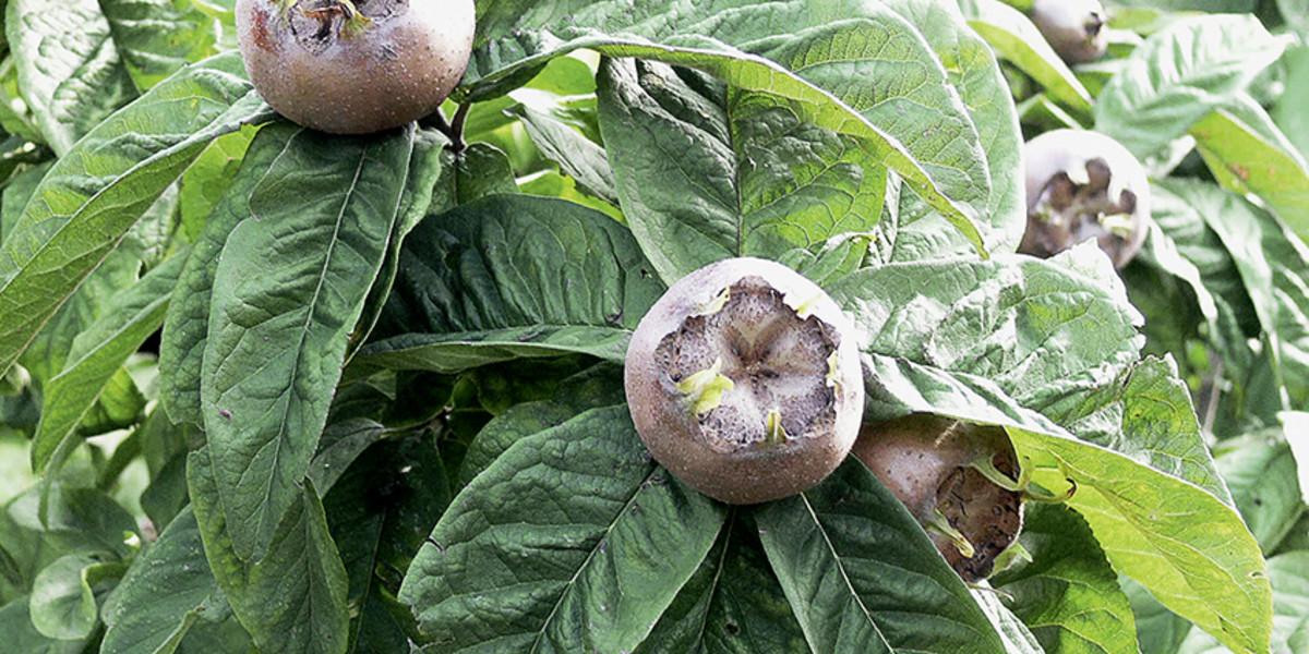 robuste obst und beerenpflanzen h berli fruchtpflanzen. Black Bedroom Furniture Sets. Home Design Ideas