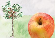 crony mein kleiner apfelbaum h berli fruchtpflanzen ag. Black Bedroom Furniture Sets. Home Design Ideas