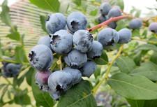heidelbeeren h berli fruchtpflanzen ag neukirch egnach. Black Bedroom Furniture Sets. Home Design Ideas