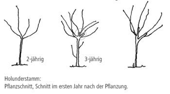 Extrem Holunder - Häberli Fruchtpflanzen AG, Neukirch-Egnach NC97