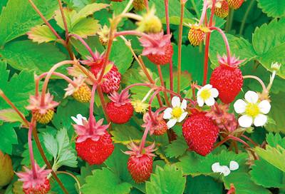 Gemeinsame Erdbeeren immertragend - Häberli Fruchtpflanzen AG, Neukirch-Egnach &UU_22