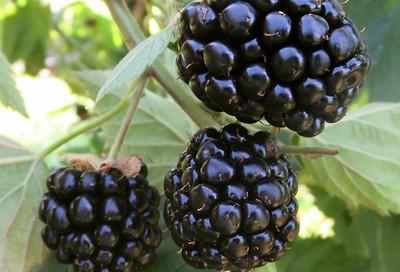 brombeeren rubus hybriden h berli fruchtpflanzen ag. Black Bedroom Furniture Sets. Home Design Ideas
