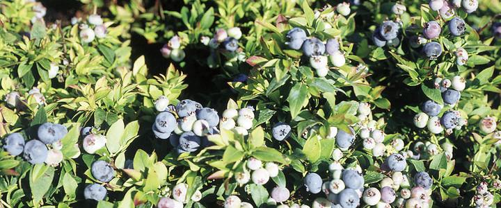 northcountry h berli fruchtpflanzen ag neukirch egnach. Black Bedroom Furniture Sets. Home Design Ideas