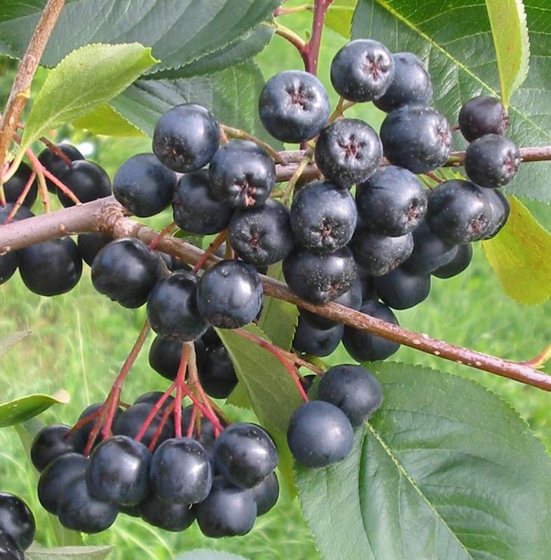 aronia die vitaminbombe h berli fruchtpflanzen ag neukirch egnach. Black Bedroom Furniture Sets. Home Design Ideas