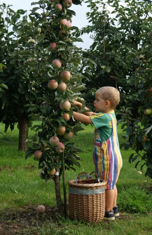 Lieblings Säulenobst für den Hausgarten - Häberli Fruchtpflanzen AG &QY_24