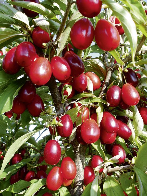 Prächtig CORNELLA kasanlaker - Häberli Fruchtpflanzen AG, Neukirch-Egnach @UI_65