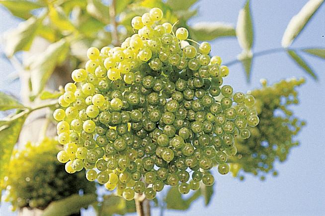 weisser holunder h berli fruchtpflanzen ag neukirch egnach