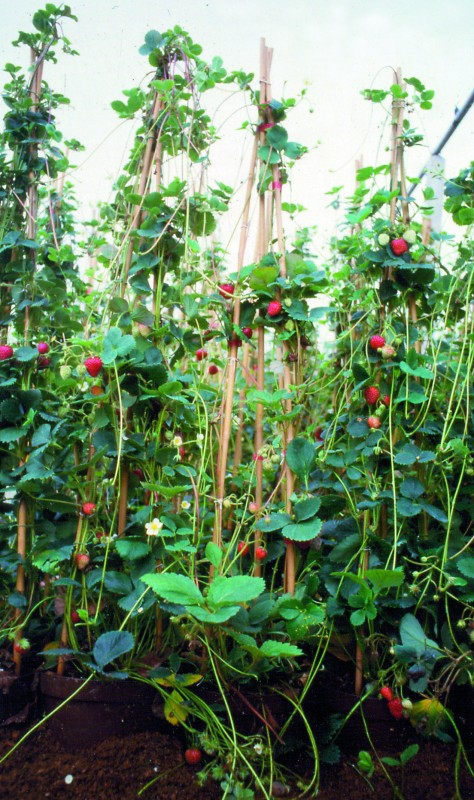 fraisier grimpant h berli fruchtpflanzen ag neukirch egnach. Black Bedroom Furniture Sets. Home Design Ideas