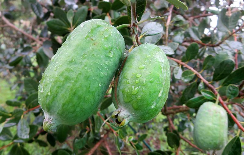 feijoa brasilianische guave h berli fruchtpflanzen ag. Black Bedroom Furniture Sets. Home Design Ideas