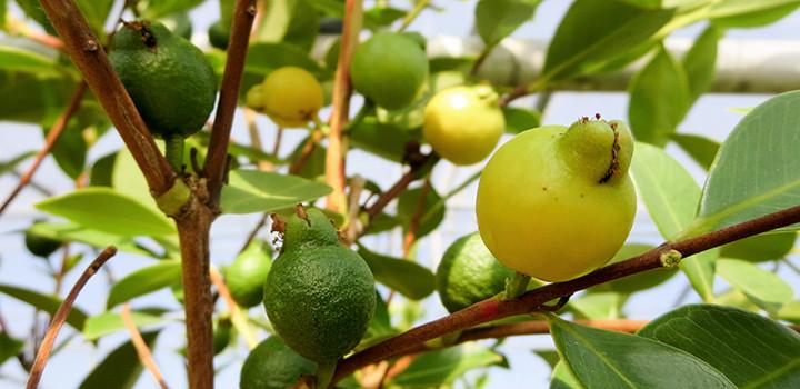 arasa gelbe guave zitronenguave h berli fruchtpflanzen ag neukirch egnach. Black Bedroom Furniture Sets. Home Design Ideas