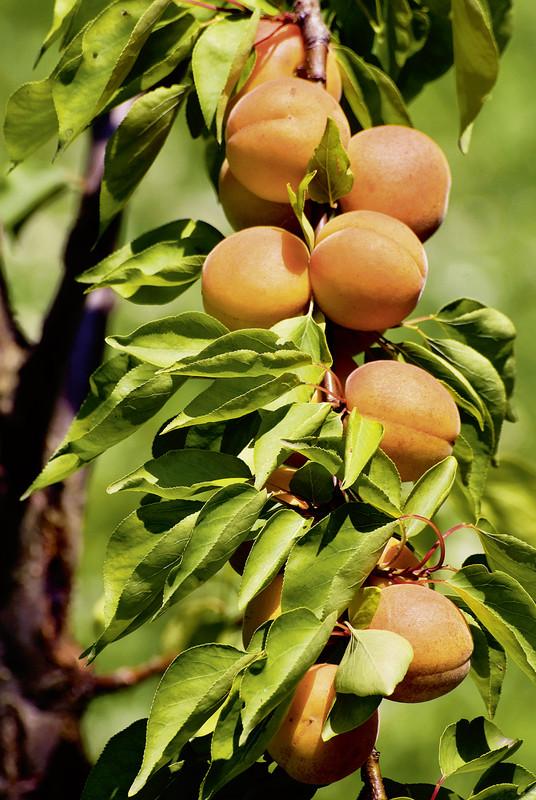 Saulenobst Haberli Fruchtpflanzen Ag Neukirch Egnach