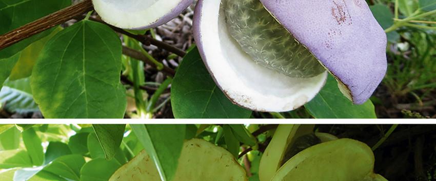 Kletterpflanze leckere Früchte SCHOKOLADENWEIN Exotisch