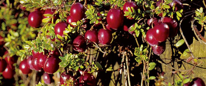 red star cranberry h berli fruchtpflanzen ag neukirch. Black Bedroom Furniture Sets. Home Design Ideas