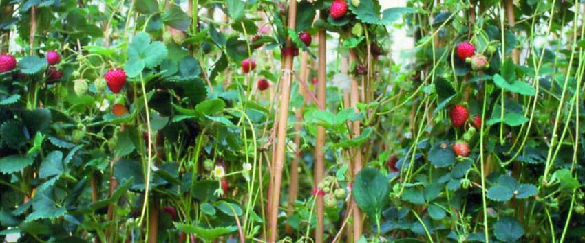 fraisier grimpant - häberli fruchtpflanzen ag, neukirch-egnach