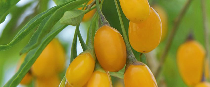 amber sweet goji gelbfruchtige goji h berli fruchtpflanzen ag neukirch egnach. Black Bedroom Furniture Sets. Home Design Ideas