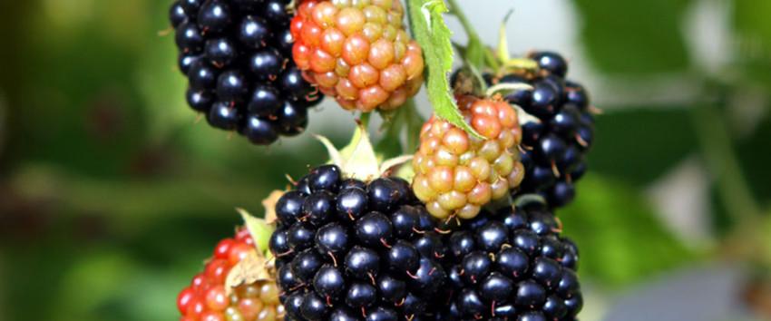 black satin h berli fruchtpflanzen ag neukirch egnach. Black Bedroom Furniture Sets. Home Design Ideas